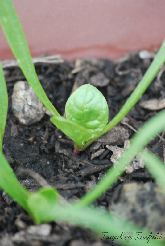 Spinach sprouts in the patio garden | Frugal in Fairfield