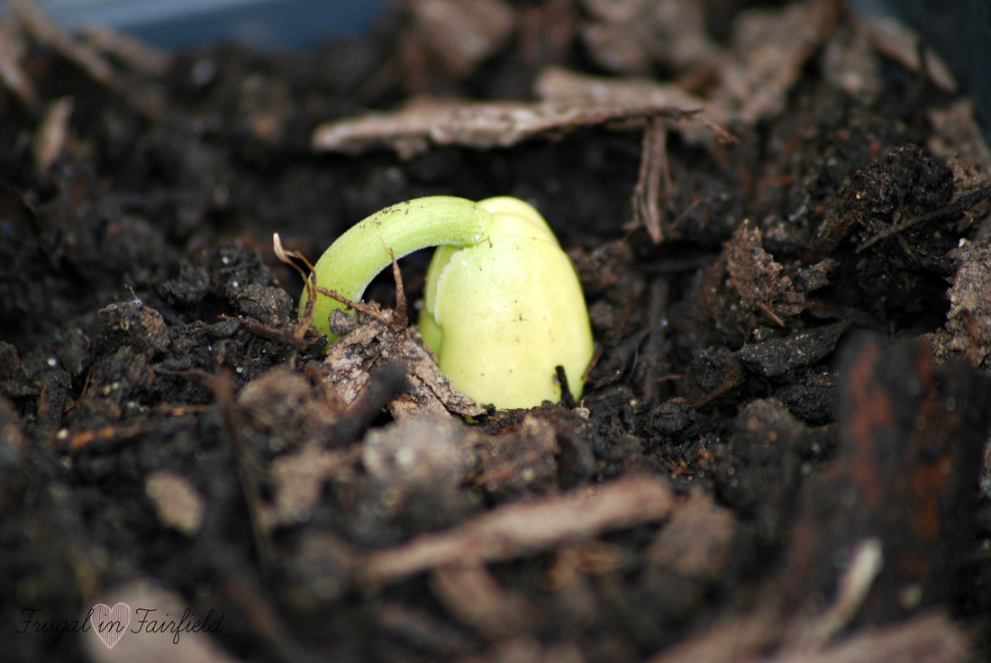 The first bean sprout in the patio garden | Frugal in Fairfield
