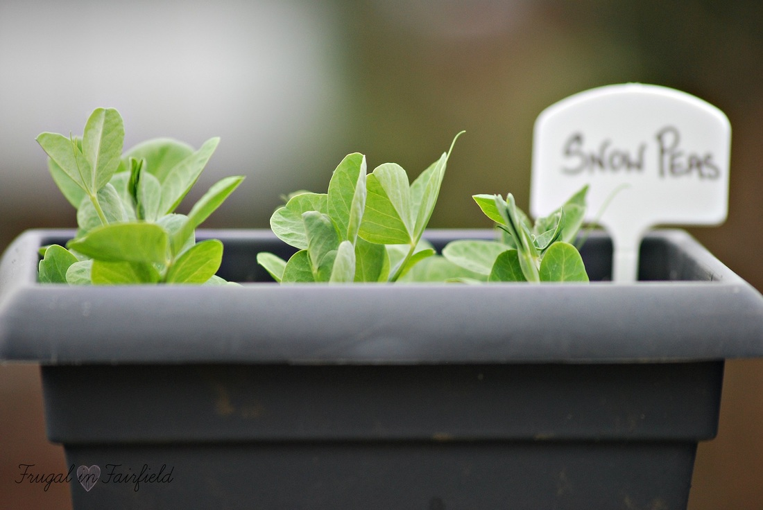 Container snow peas for the patio garden | Frugal in Fairfield
